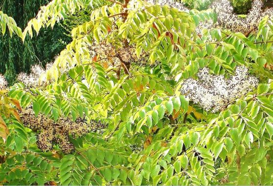 Aralie (Aralia elata) - Mitte September_ die Früchte werden bereits dunkel ...