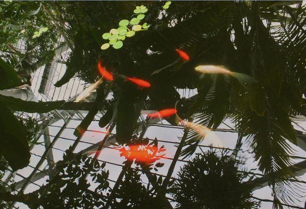 Planten un Blomen - Tropenschauhaus - Können Sie die Fische noch gut erkennen_ Alles spiegelt sich auf der Wasseroberfläche des Beckens ....