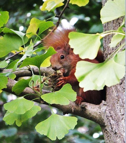 Planten un Blomen - Herbst - Eichhörnchen im Ginkgo-Baum, genussvoll am knabbern ...