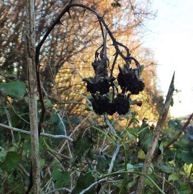 November-Brombeere ... (Rubus)