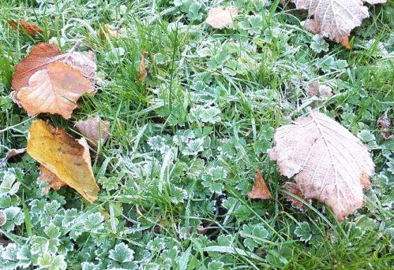 November-Hahnenfuß (Ranunculus repens)  nach Frostnacht ...