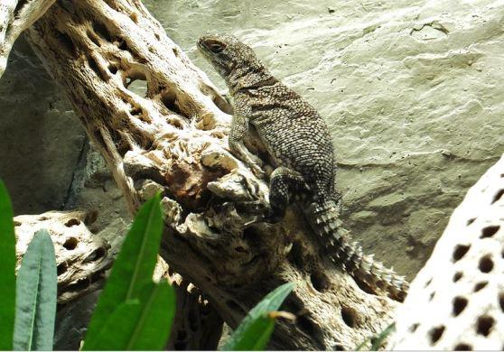 Großer Madagaskar-Leguan ...