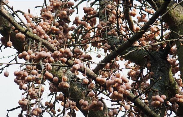 Mannheim - Luisenpark - Samen eines Ginkgo biloba im Winter. Dicht an dicht ...