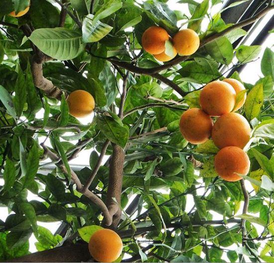 Planten un Blomen - Ende Januar/Anfang Februar ist Apfelsinenzeit (Citrus sinensis (L.) Pers.)