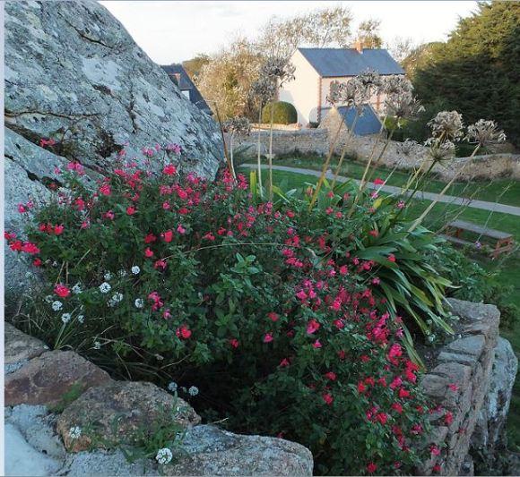 Bretagne - Île de Bréhat - Novemberblüher ... und abgeblühte Schmucklilien.