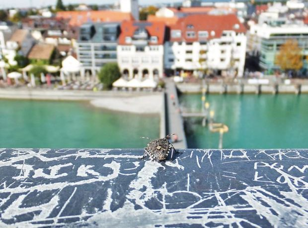 Friedrichshafen - Die Beerenwanze möchte den Panoramablick mit genießen