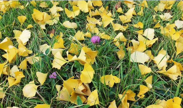 Gelbe Ginkgoblätter im Herbst am Boden mit blühendem Klee dazwischen