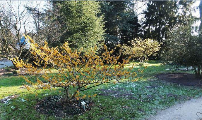 Hamburg - Bot. Garten Kl. Flottbek - Die Zaubernuss strahlt mit der Sonne um die Wette ... Hamamelis mollis Pallida und Brevipetala