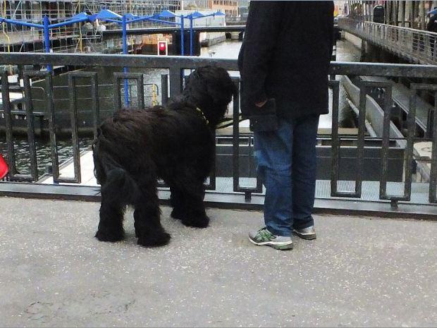 Hamburg - Schleusenbrücke an der Rathausschleuse - Der erste Schwanbeobachter (ein großer schwarzer, langfelliger Hund mit Herrchen) ist schon da ....