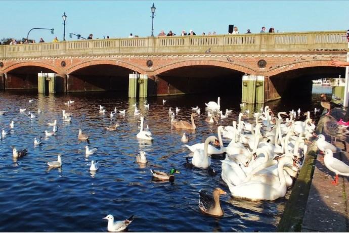 Hamburg - Kleine Alster mit gemischter Wasservogelpopulation